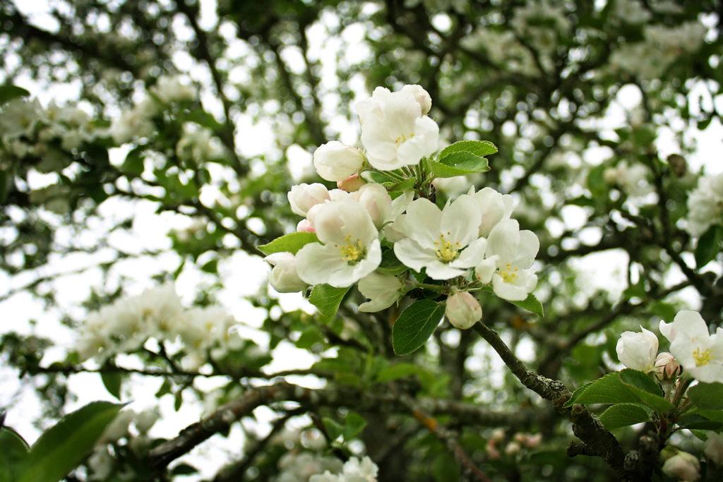 artikkeli-omenapuu